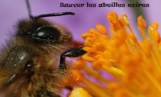 Sauver abeille noire 1
